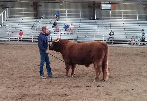 Man showing a Highland bull in an arena