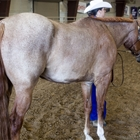 A 4-H youth showing her horse in Showmanship class