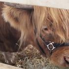A brown Highland Calf