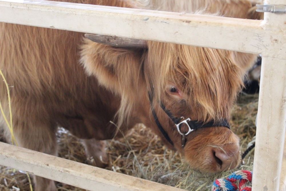 Highland cow looking through a fence