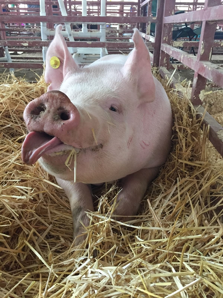 A cute picture of a white pig sticking its tongue out