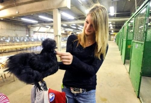 4-H exhibitor getting her black silkie ready for the poultry show