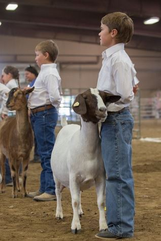 Kids showing Sheep in 4-H Round Robin event