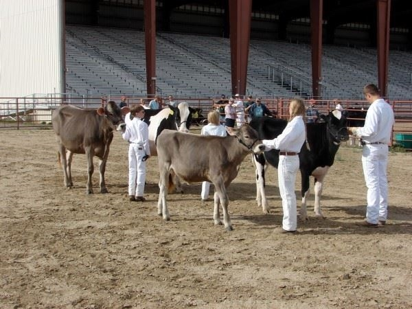 4-H youths showing their dairy cows in a class at the fair