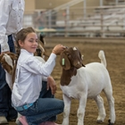 A 4-H girl presenting her goat to the judge