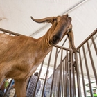 A brown goat in the Petting Barn