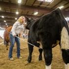 a 4-H girl presebting her black Heifer during Showmanship