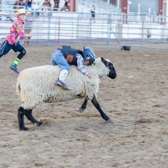 Child hanging on to the back of a sheep during Mutton Bustin