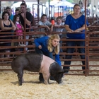 A 4-H girl showing her black and white swine at the Fair