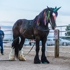 Black draft horse dressed up as a  medieval  character for Ballet on Horseback event