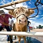 A highland cow getting a bath at the Fair