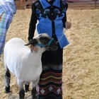 A breeding sheep being inspected by the judge in a class