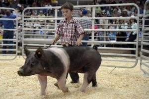A young 4-H boy showing his black and white pig in the Indoor Arena