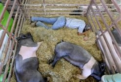 A boy sleeping in pen next to two pigs