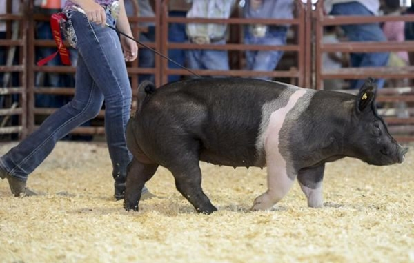 4-H youth walking a black and white swine