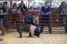 A 4-H girl showing her black and white pig in the arena
