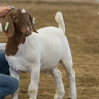 A brown and white utility goat