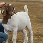 Utility Goat