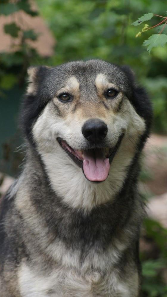 A grey wolf hybrid headshot