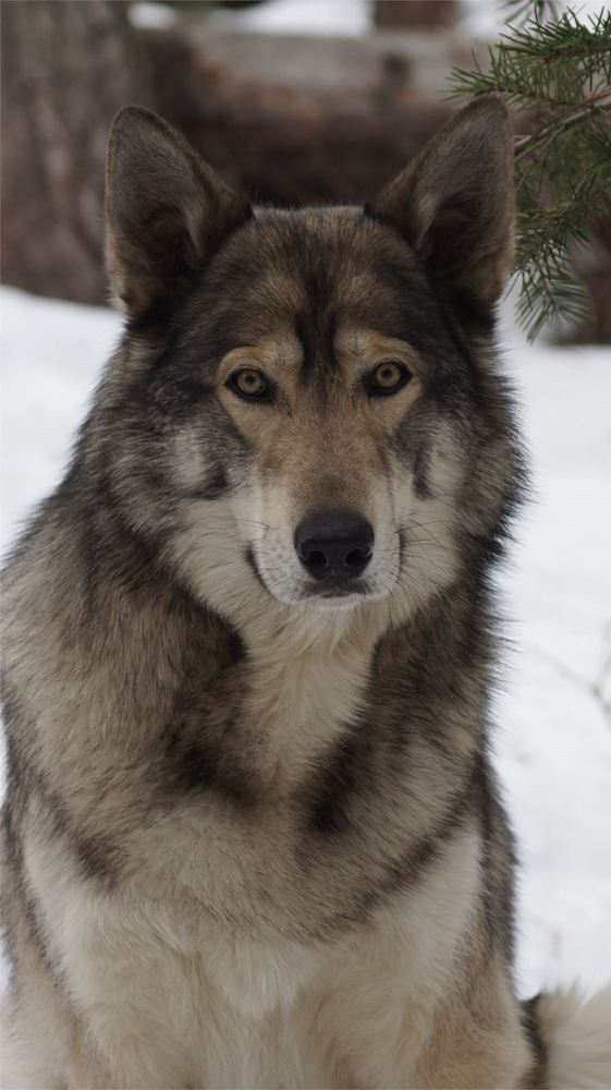 A grey wolf closeup in the snow