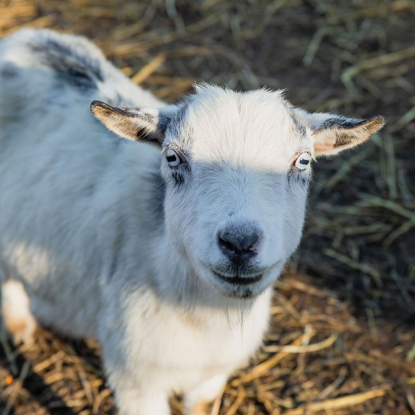 Kearney_Fun_Farm_Goat