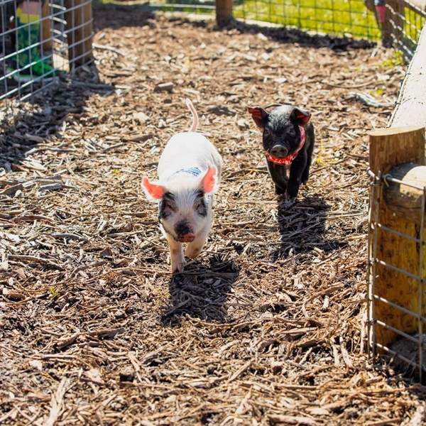 Kearney_Fun_Farm_piglets