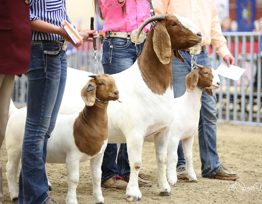 4-H / FFA Goat Show