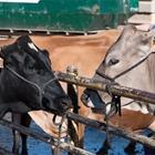 Open & Jr. Dairy Cattle
