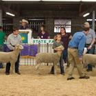 Jr. Breeding Sheep