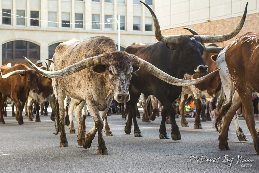 2015 Coors Cowboy Club Cattle Drive on Polk St.