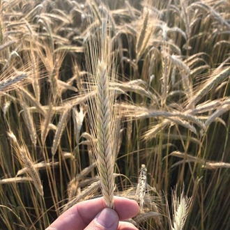 a hand holding a single stock of a wheat plant in a field of wheat