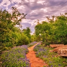 bluebonnet flowers with a dirt path and trees