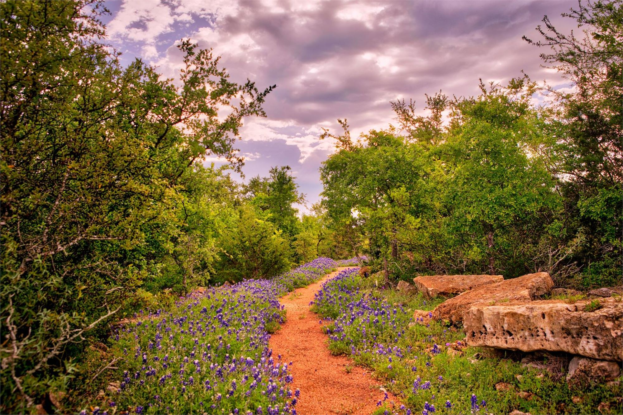 a dirt path weaving through a crop of bluebonnets with trees
