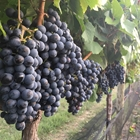 a row of grape vines with bunches of grapes hanging from the vines