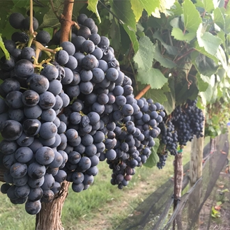 A row of wine grapes hanging on a vine
