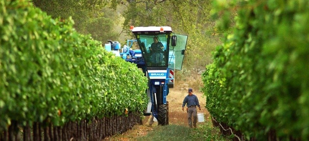 a tractor harvesting grapes in a vineyard with a man walking holding a bucket
