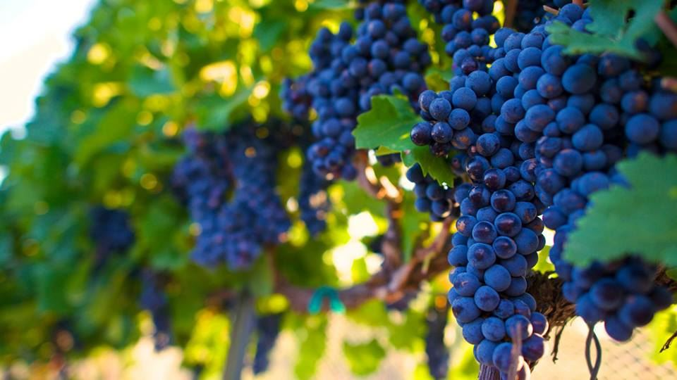 Purple wine grapes hanging on a vine