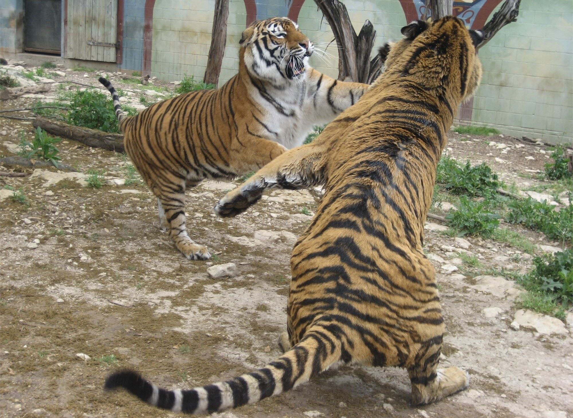 Two bengal tigers playing with each other