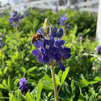 a bee pollinating a Texas bluebonnet
