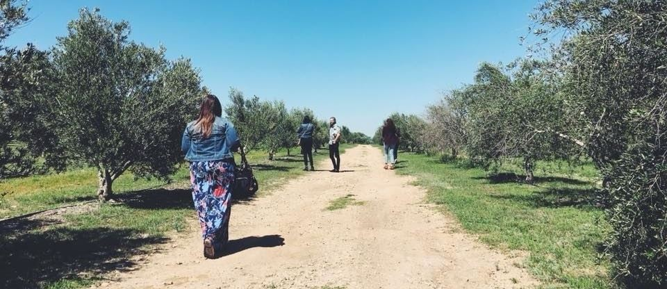 Four people walking on a caliche road walking through an olive orchard