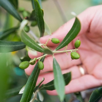 a hand holding a olive branch with little olives on the branch