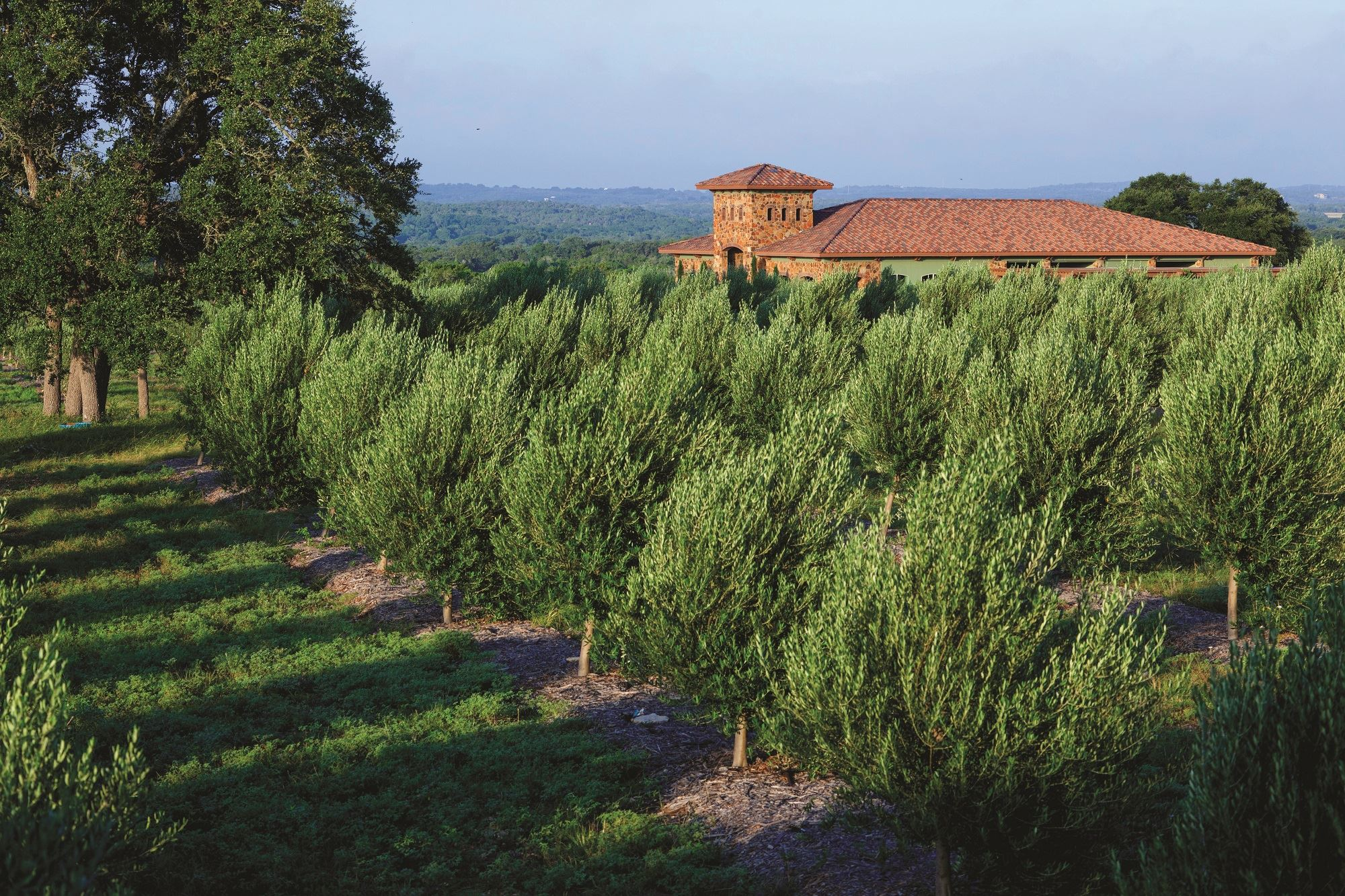An orchard of olive trees with a Tuscan style building in the background