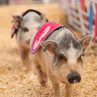 photo of racing pigs