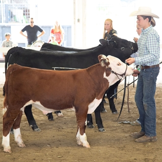 photo of beef cattle show