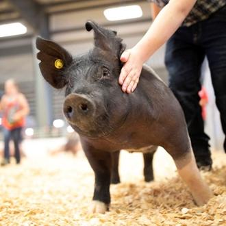 Photo of Open Class Swine Show Pig