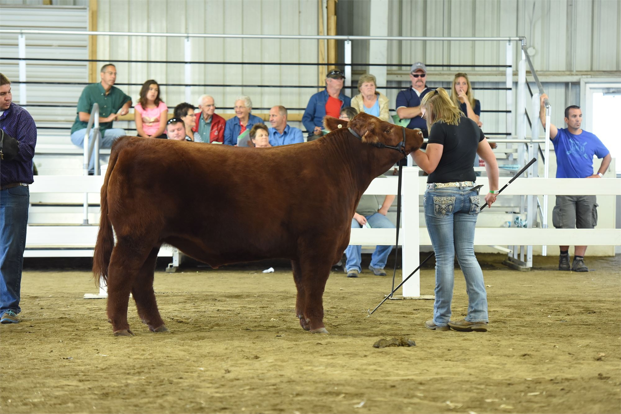 Photo of a steer