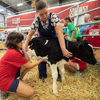 Photo of girl listening to a calf's heatbeat