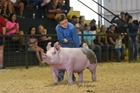 Boy with pig in pig show