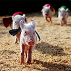 Robinson's Racing Pigs