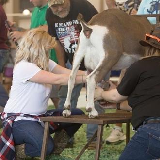 Celebrity Goat Milking